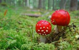 красный цвет гриба мухы Стоковые Изображения RF