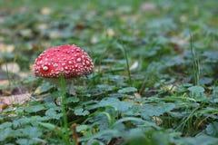 Красный цвет гриба пластинчатого гриба мухы в запятнанном белом парке Стоковые Изображения