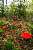 красный цвет гриба Стоковое фото RF