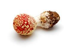красный цвет гриба muscaria amanita Стоковое Изображение RF