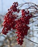 красный цвет групп ягод пунцовый Стоковая Фотография