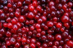 Красный цвет деревянного щавеля ягоды Стоковые Фото