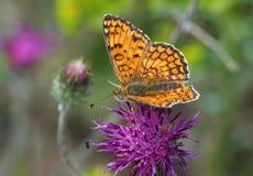 красный цвет дня бабочки с волосами Стоковое фото RF