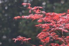 красный цвет дождя клена листьев падений Стоковое фото RF