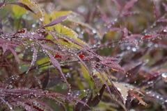 красный цвет дождя клена листьев падений Стоковые Изображения RF