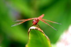 красный цвет дракона милочки Стоковое Изображение RF