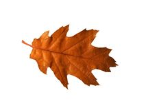 красный цвет дуба листьев Стоковые Изображения