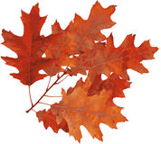 красный цвет дуба осени Стоковые Изображения