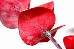 красный цвет евкалипта стоковая фотография