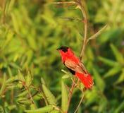 красный цвет епископа северный Стоковая Фотография