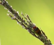 красный цвет жука черный Стоковая Фотография