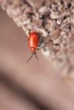 красный цвет жука Стоковое фото RF