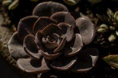 Красный цвет завода ` Chroma ` Echeveria суккулентный Стоковые Фотографии RF