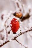 красный цвет замерли ягодой, котор стоковая фотография
