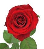красный цвет изолированный предпосылкой славный поднял Стоковое Изображение