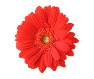 красный цвет изолированный gerbera Стоковое фото RF