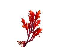 красный цвет изолированный цветком стоковое фото rf