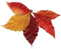 Красный цвет изолированным деревом осени листает стоковые фотографии rf