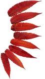 Красный цвет изолированным деревом осени листает стоковые фото
