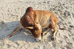 Красный цвет или оранжевая корова или лож или остатки быка на пляже, на s Стоковая Фотография RF