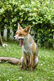 красный цвет лисицы зевая Стоковая Фотография RF