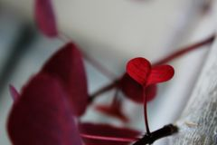 красный цвет листва изолированный сердцем Стоковая Фотография