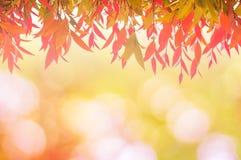 Красный цвет листьев весной или красивое в запачканной природе над заходом солнца Стоковая Фотография RF