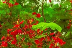 красный цвет листьев цветка зеленый Стоковая Фотография RF