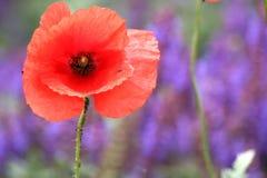 Красный цвет и лаванда Стоковые Фото