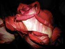 Красный цвет и белая роза стоковые изображения rf