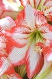 Красный цвет и белизна Hippeastrum Стоковая Фотография RF