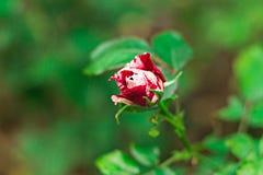 Красный цвет и белые розы красивые и душистые цветки Стоковая Фотография RF