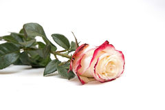 Красный цвет и белые розы на белой предпосылке Стоковые Изображения RF