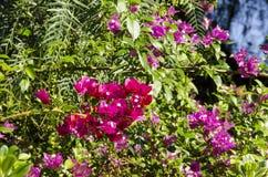Красный цвет и бугинвилия лаванды Стоковая Фотография RF