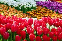 Красный цвет и другое красят тюльпаны Стоковые Изображения RF
