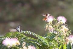 Красный цвет и серый цвет завиша сумеречница птицы припевать Стоковая Фотография