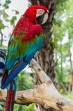 красный цвет и синь ары попугая Стоковое фото RF