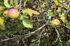 Красный цвет и яблоки золота на яблоне Стоковые Изображения