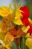 Красный цвет и variegated желтым цветом радужка Стоковая Фотография