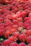 красный цвет кактуса Стоковая Фотография