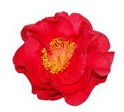красный цвет камелии Стоковая Фотография