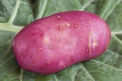 красный цвет картошки Стоковые Изображения RF