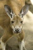 красный цвет кенгуруа Стоковое Изображение