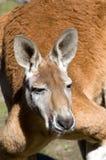 красный цвет кенгуруа Стоковые Фото