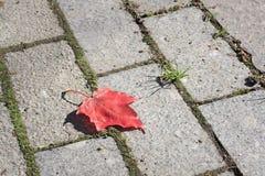 красный цвет клена листьев Стоковые Изображения RF