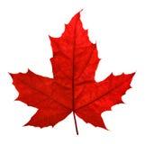 красный цвет клена листьев Стоковые Изображения