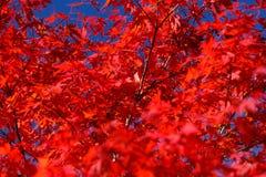 красный цвет клена осени Стоковое Изображение RF