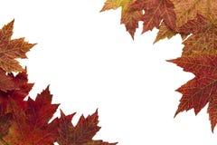 красный цвет клена 3 листьев предпосылки осени Стоковые Изображения RF