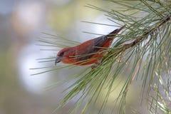 красный цвет клеста птицы Стоковое Фото