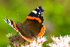 красный цвет конца бабочки admiral вверх Стоковые Изображения